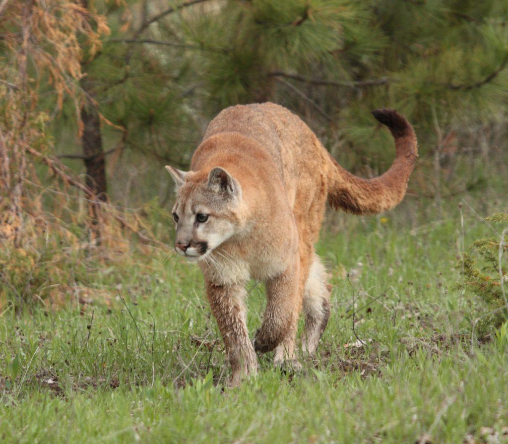 Panthers & Pumas Explained | Big Cat Conversations